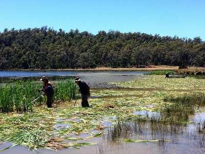 Cumbungi control trial at Four Springs Lake