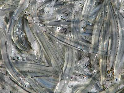 Whitebait poachers get big fines