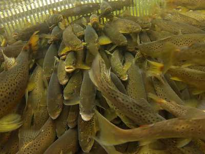 Brown trout captured in a migratory fish trap